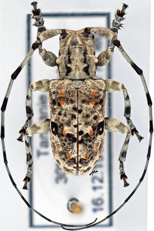 Stenophloeus ocularis