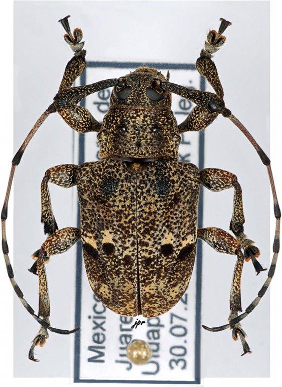Thryallis maculosus