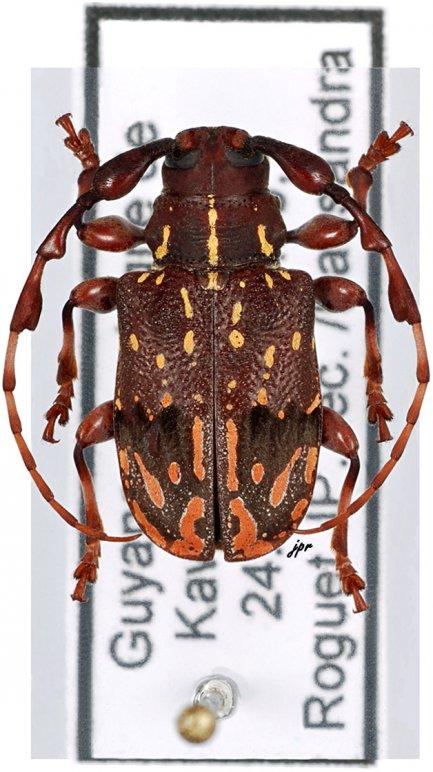 Xylotribus decorator