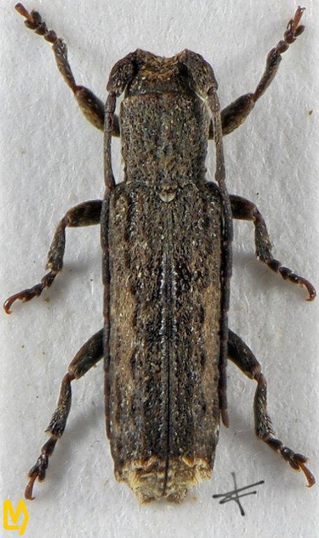 Atimura japonica