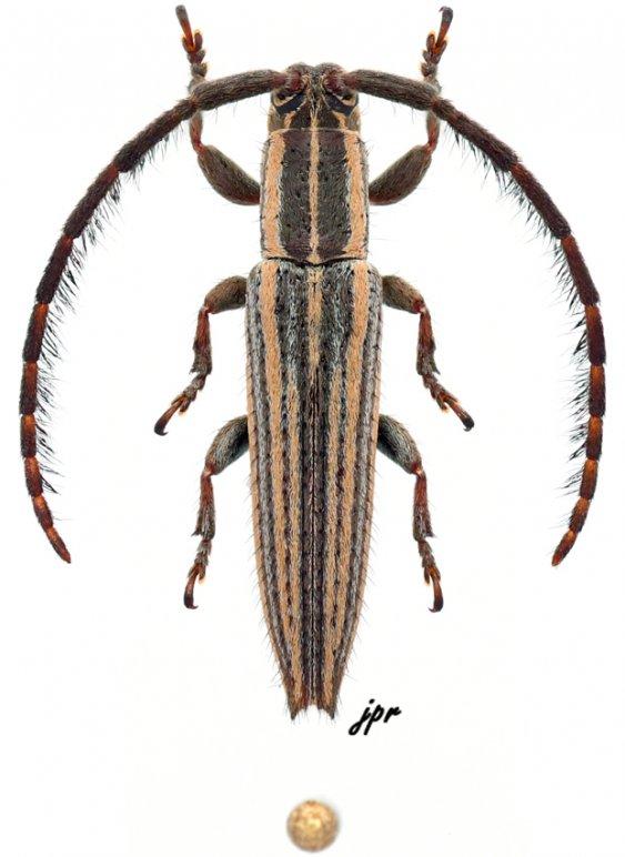 Dorcasta crassicornis