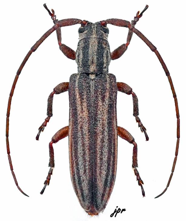 Parasybrinus fuscovittatus