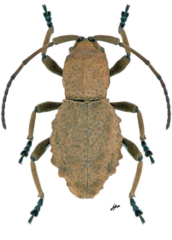 Phrynidius armatus