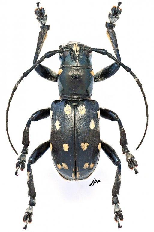 Pseudabryna quatuordecimmaculata