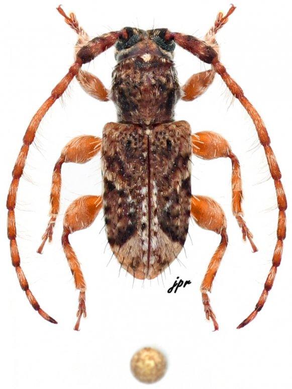 Sarillus pygmaeus