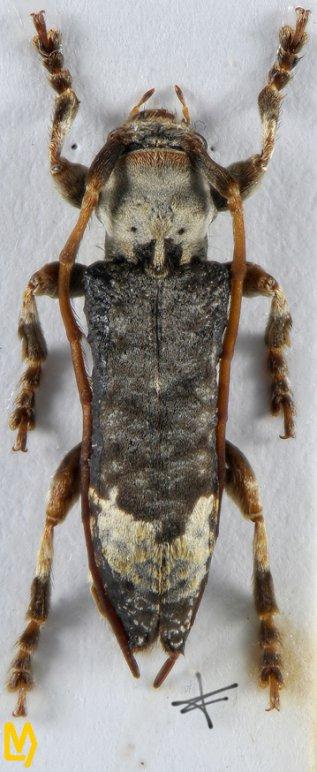 Xylariopsis mimica