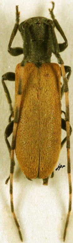 Eunidia annulata