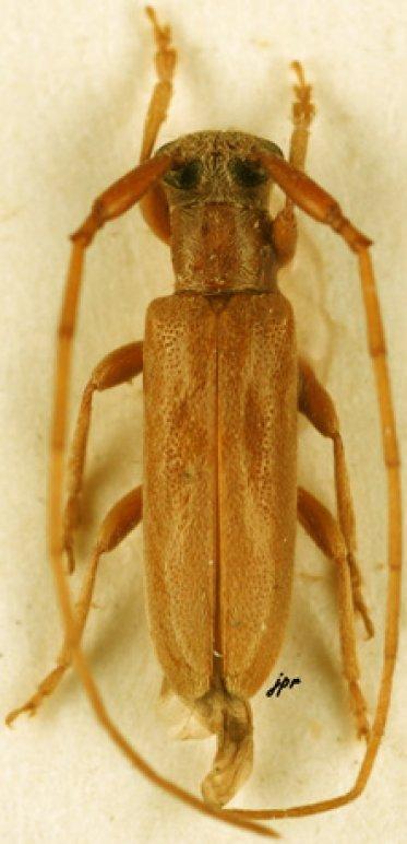 Eunidia cordifera