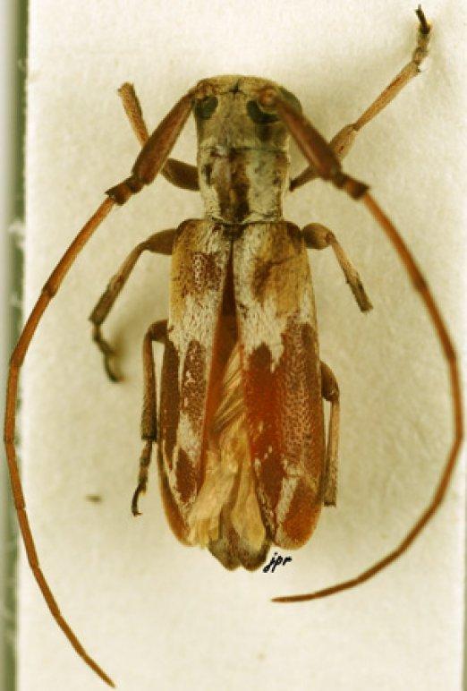 Eunidia breuningiae
