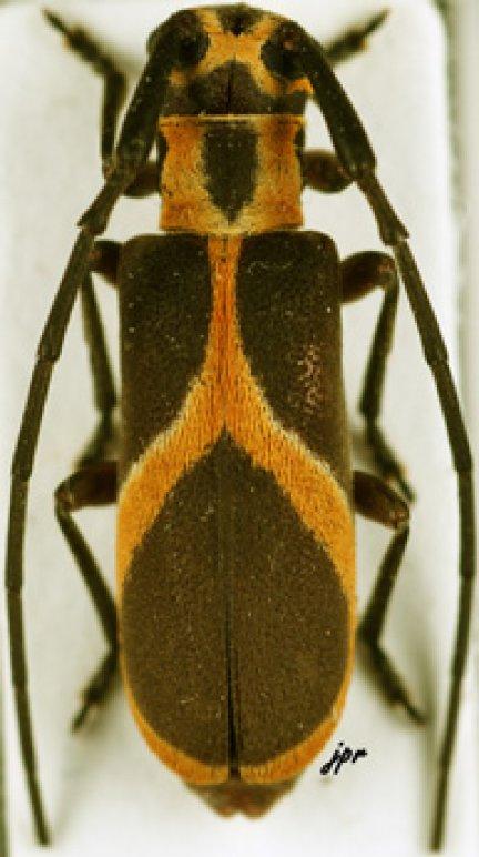 Eunidia euzonata