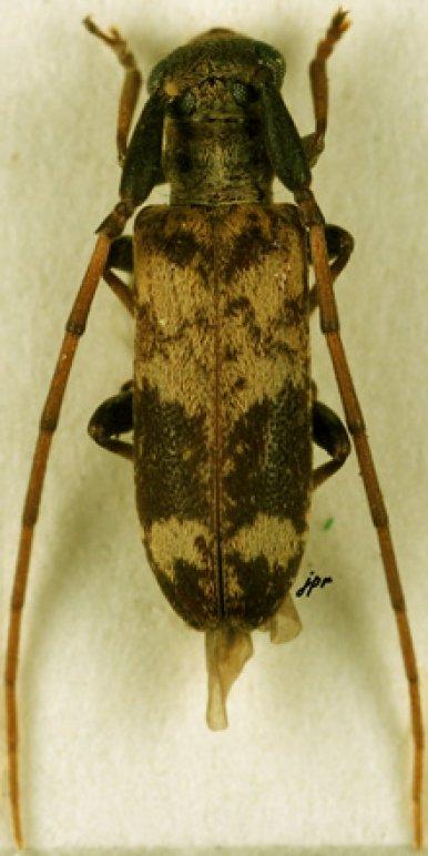 Eunidia flavomarmorata