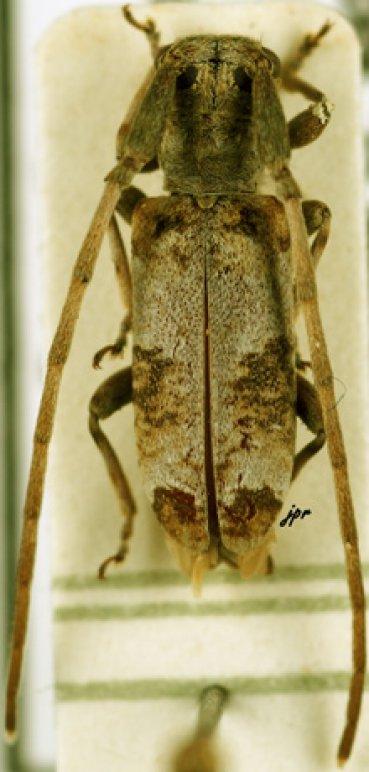 Eunidia forticornis