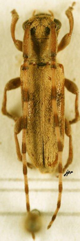 Eunidia fuscomaculata