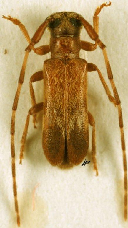 Eunidia nigrosignata