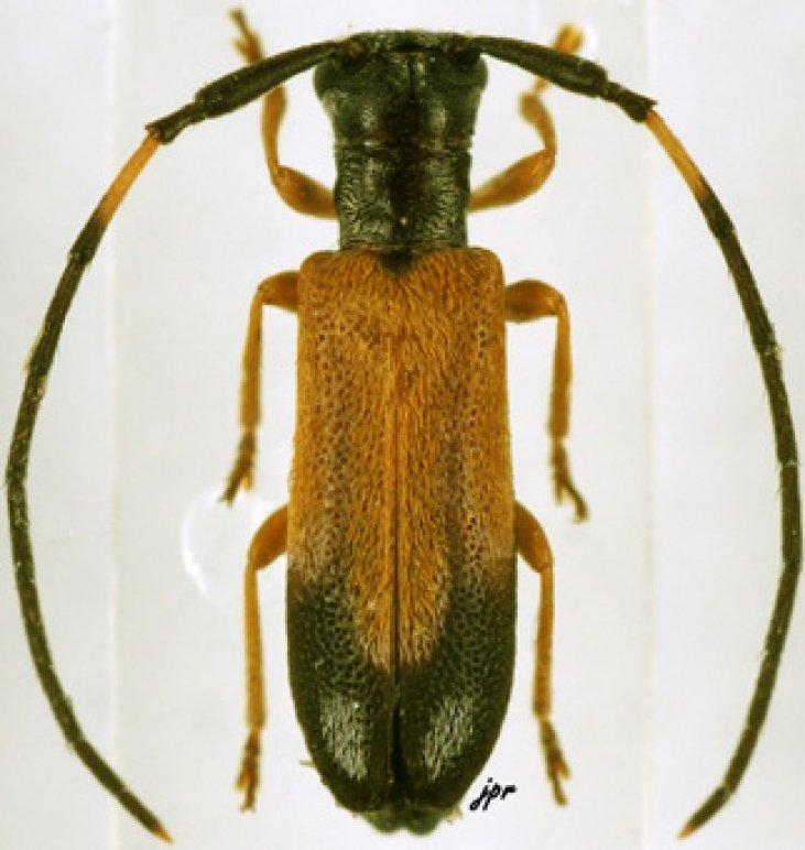 Eunidia nigroterminata