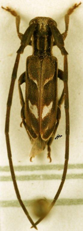 Eunidia olivacea