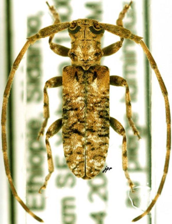 Eunidia piperita piperita