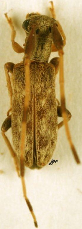 Eunidia quadricincta