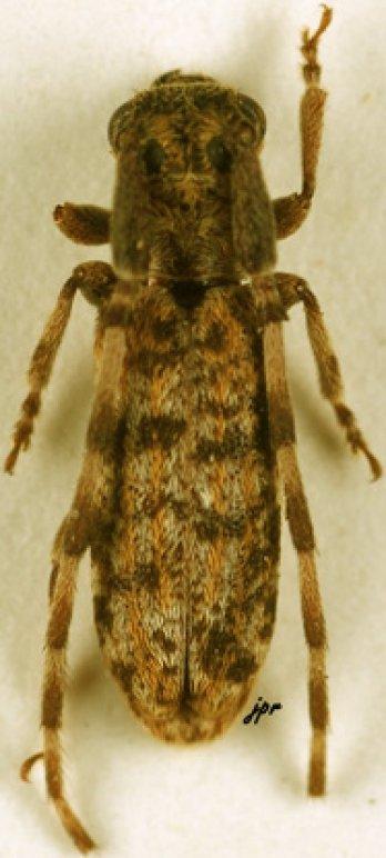 Eunidia rufolineata