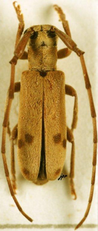Eunidia similis