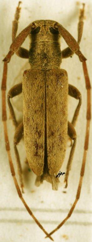 Eunidia caffra flavescens