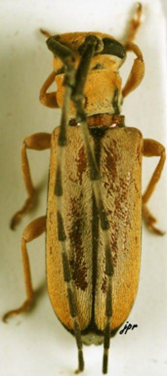 Eunidia sulphurea