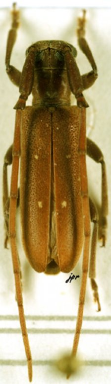 Eunidia thomseni guttata