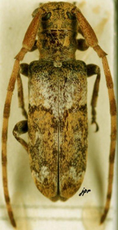 Eunidia trifasciata