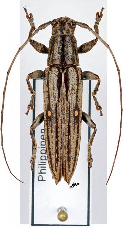 Ichthyodes biguttula biguttula