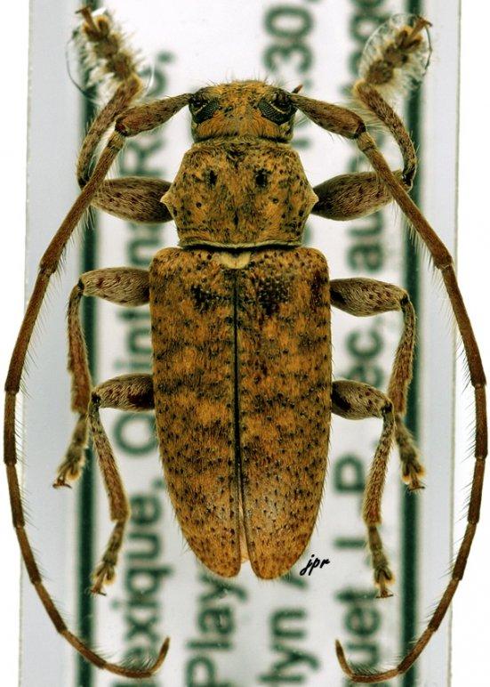Paradrycothaea pilosicornis