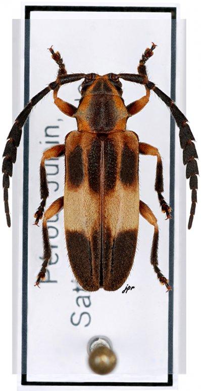 Hemicladus fasciatus