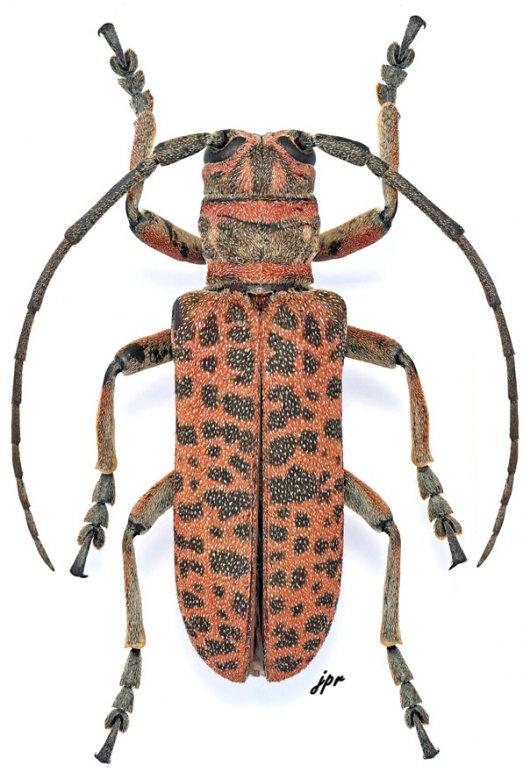 Cochliopalpus suturalis