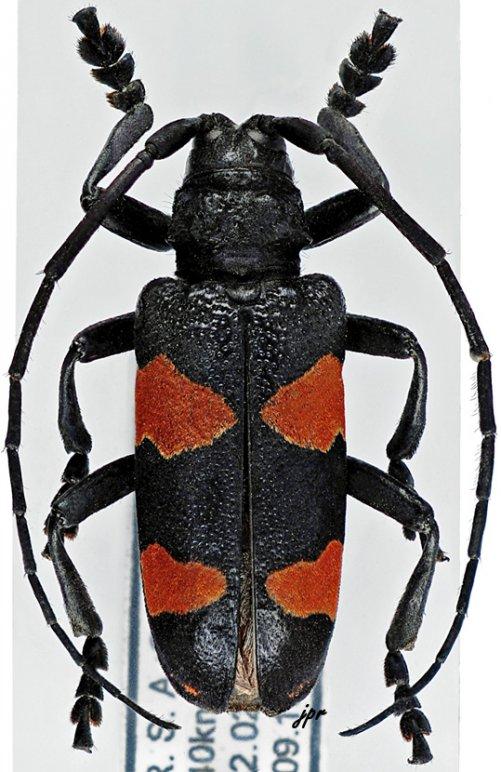 Ceroplesis aethiops