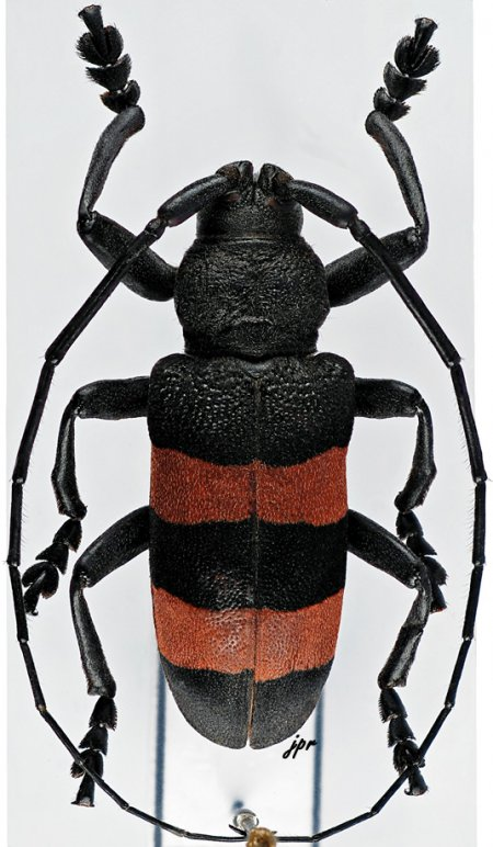 Ceroplesis bicincta