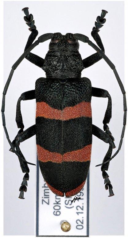 Ceroplesis orientalis