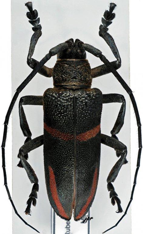 Ceroplesis semitrabeata