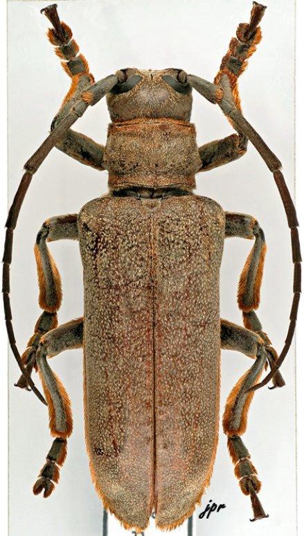 Cochliopalpus fimbriatus