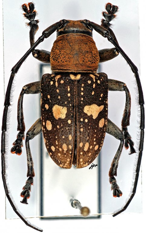 Gnathoenia alboplagiata