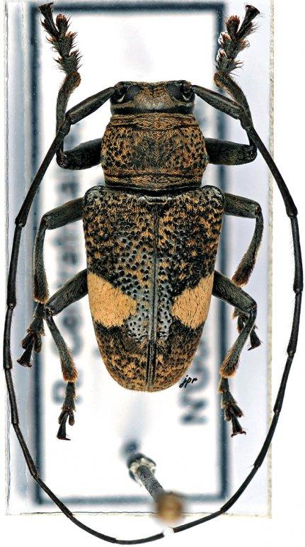 Gnathoenia bialbata