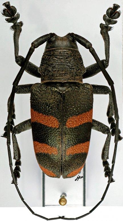 Pycnopsis brachyptera brachyptera
