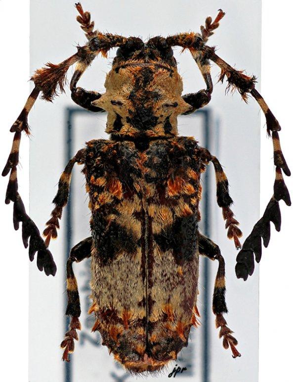 Cloniocerus kraussii