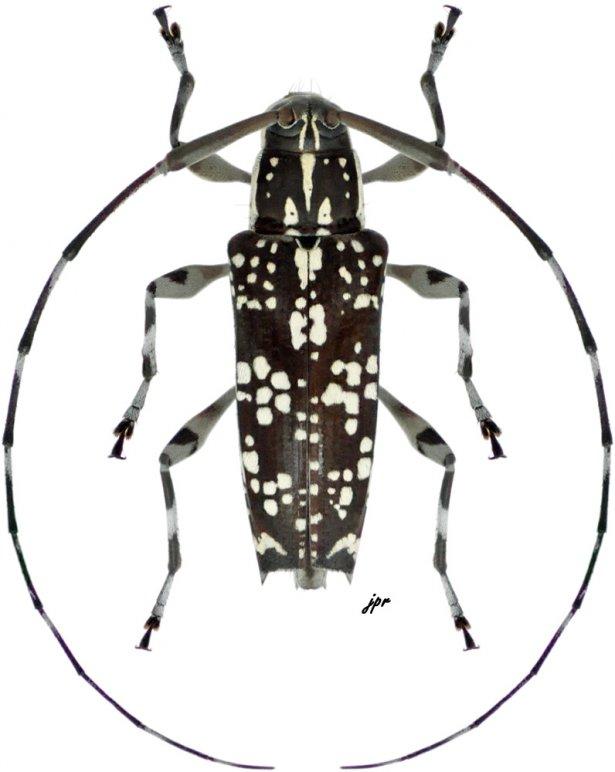 Colobothea aleata
