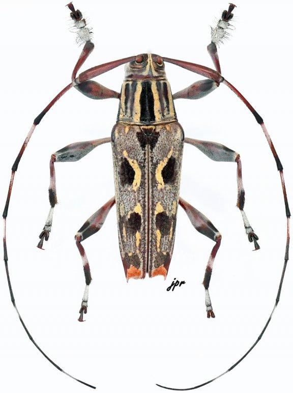 Colobothea boliviana