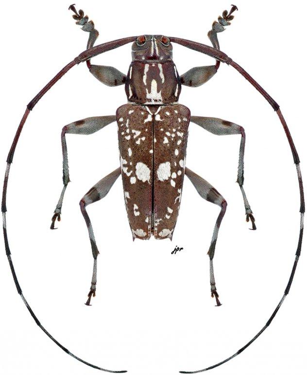 Colobothea chontalensis