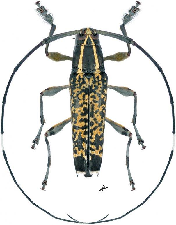 Colobothea elongata