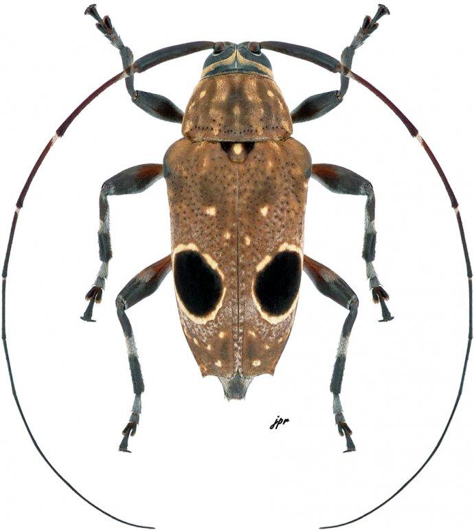 Priscilla hypsiomoides