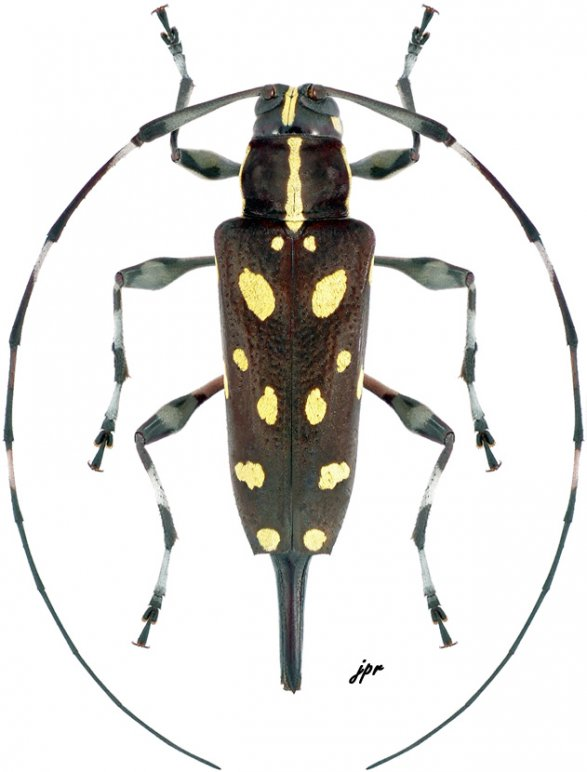 Sangaris multimaculata