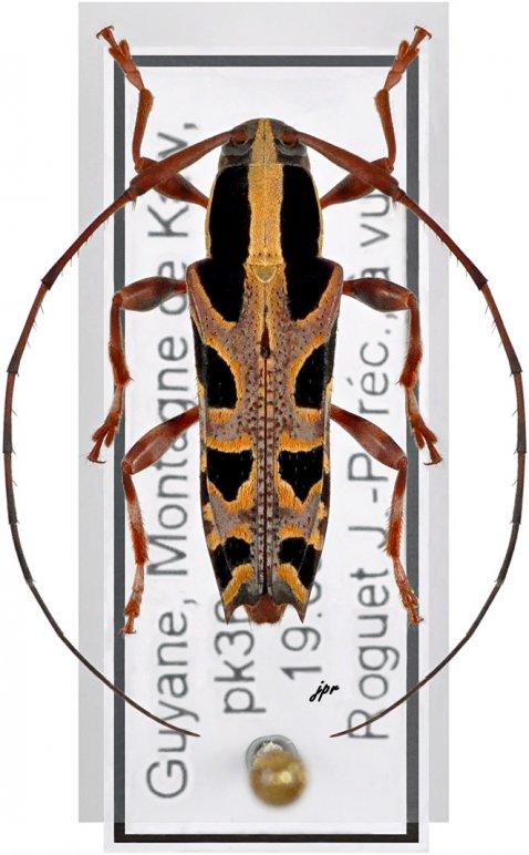 Colobothea decemmaculata