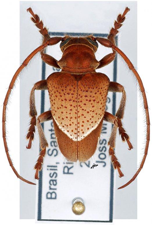 Compsosoma phaleratum