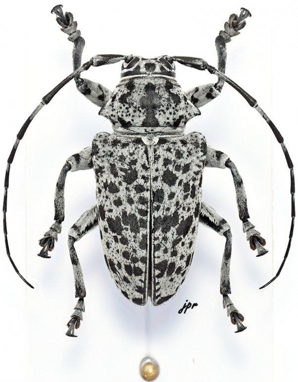 Frea maculicornis